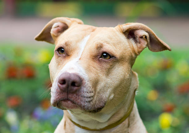 American Pit Bull Terrier close-up stock photo