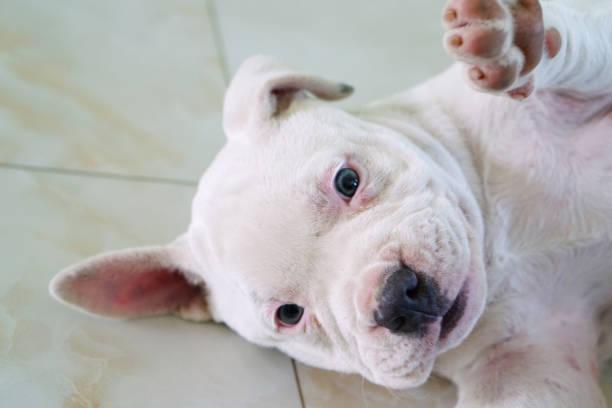 amerikanische grube stier terrier-hunderasse - nahaufnahme von niedlichen weißen pitbull welpen ist faul auf hintergrund. - pitbull welpen stock-fotos und bilder