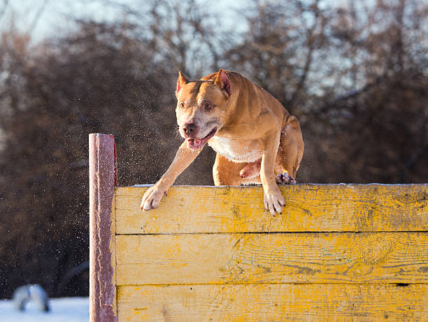 American Pit Bull Terrier jumps over hurdle stock photo