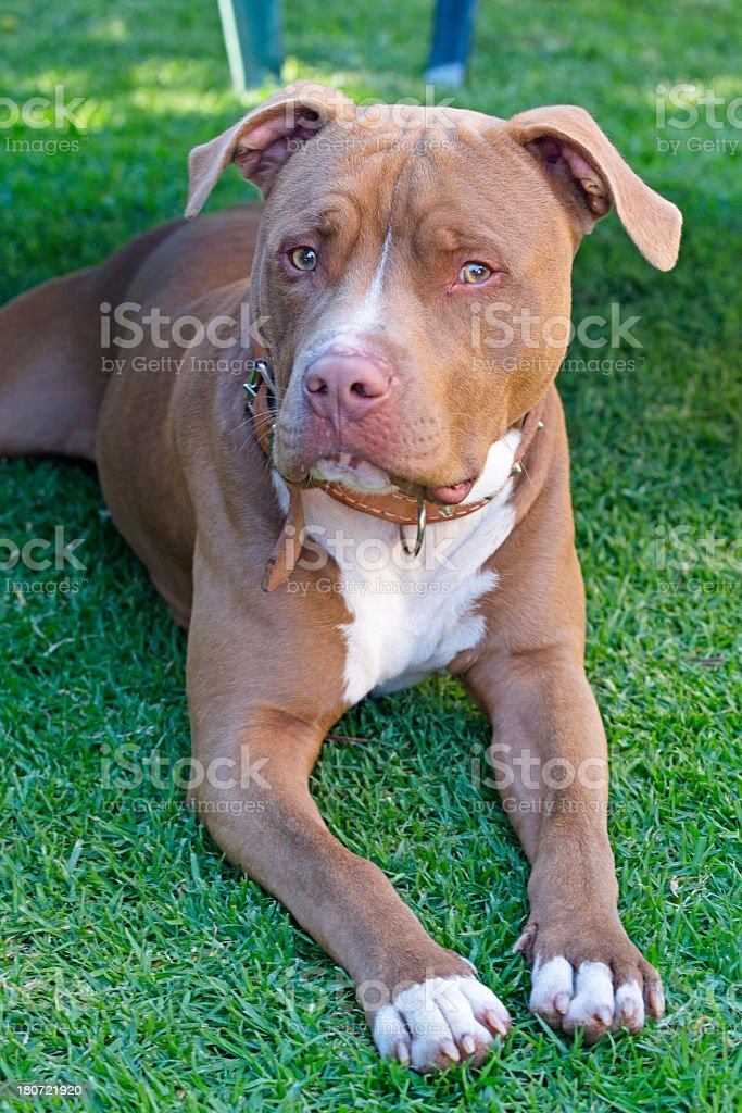 American Pit Bull Terrier looking at camera stock photo