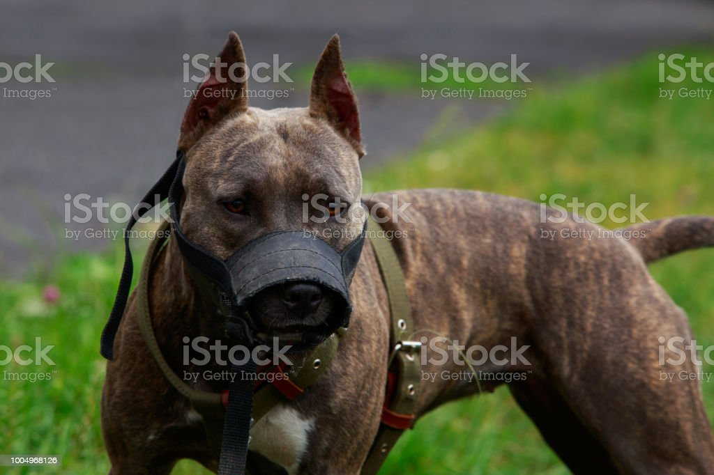 American Pit Bull Terrier stock photo