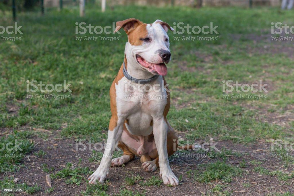 American Pit Bull Terrier – Foto