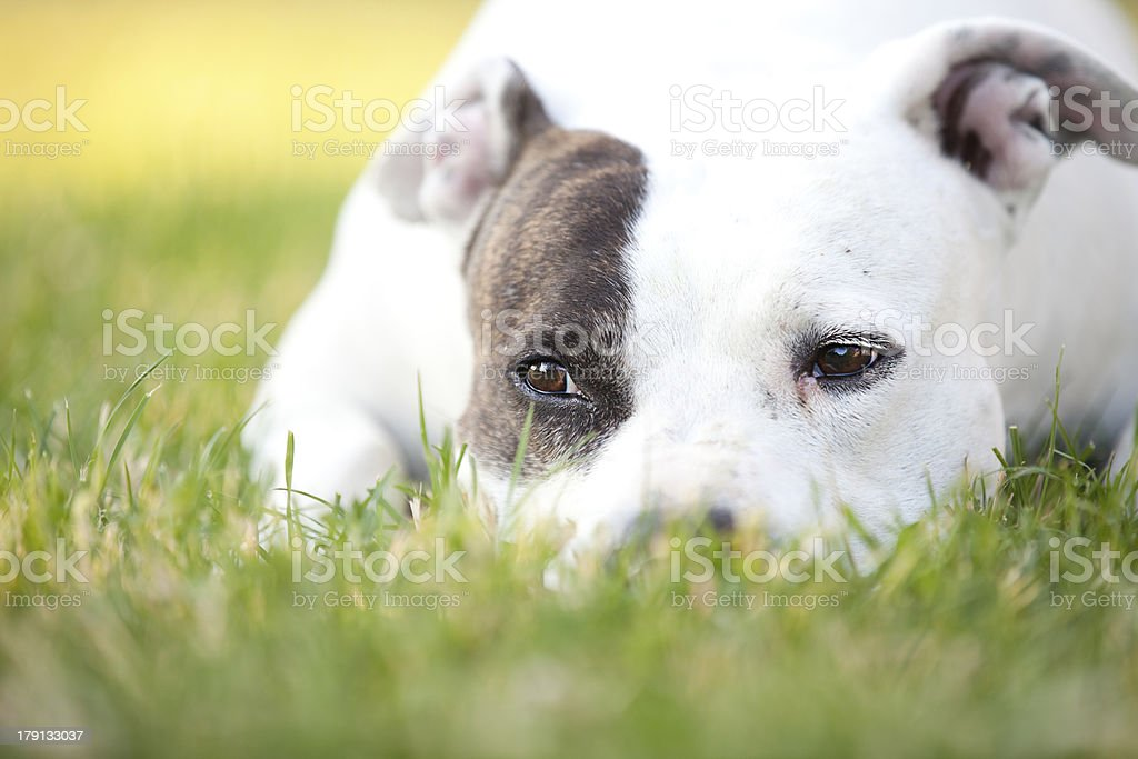 American Pit Bull Terrier Quietly Resting in Grass stock photo