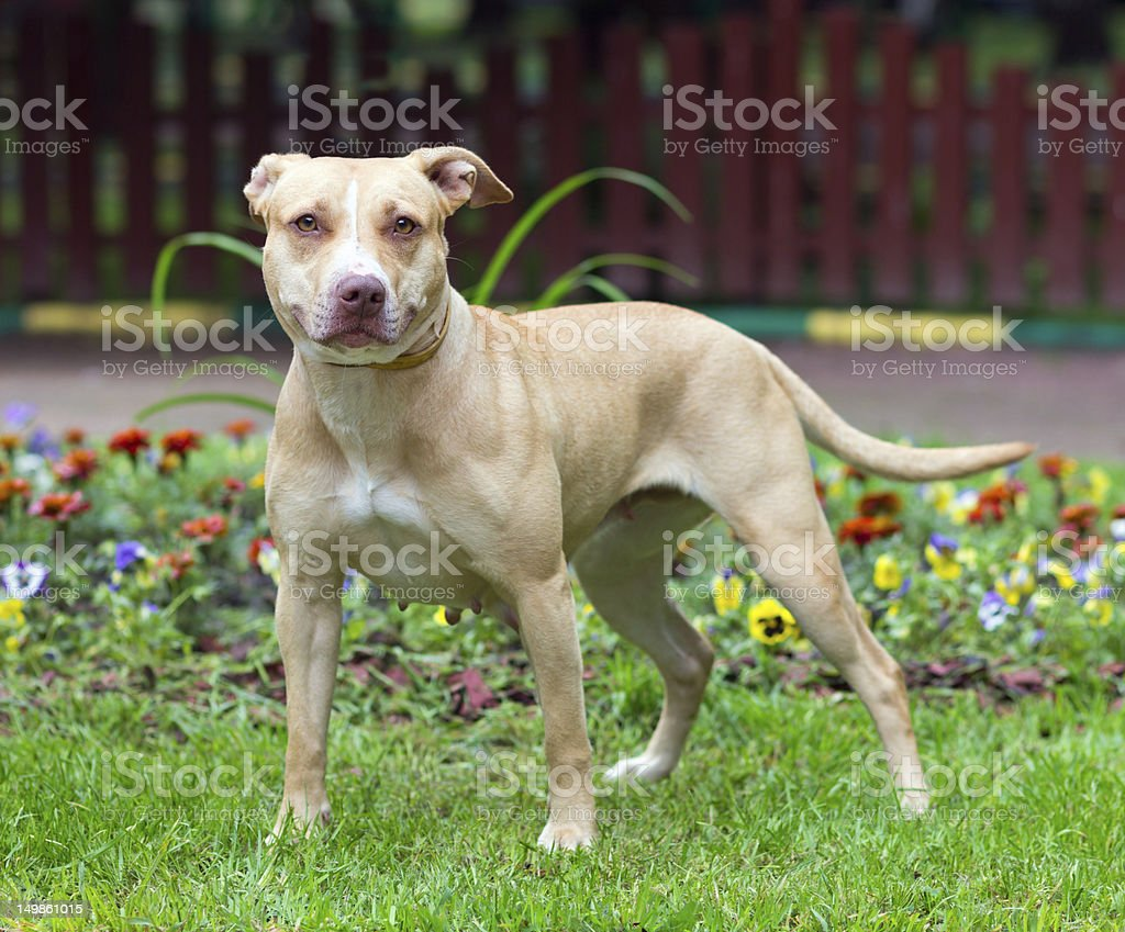 American Pit Bull Terrier standing stock photo