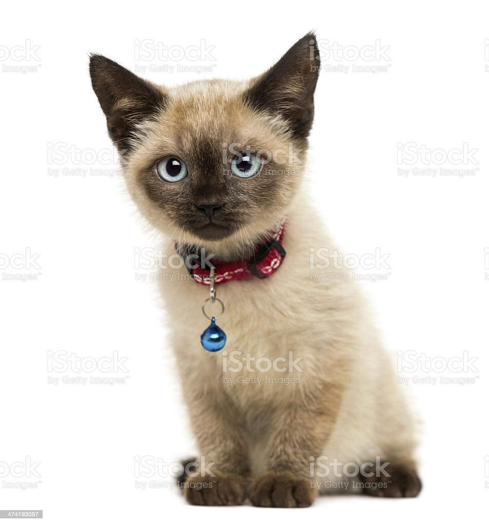 American Polydactyl kitten sitting, looking at the camera stock photo
