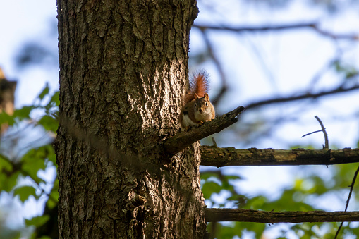 American red squirrel - female, ((Tamiasciurus hudsonicus) known as the pine squirrel, North American red squirrel and chickaree.