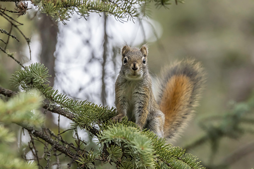 The American red squirrel is variously known as the pine squirrel, North American red squirrel and chickaree. It is also referred to as Hudson's Bay squirrel