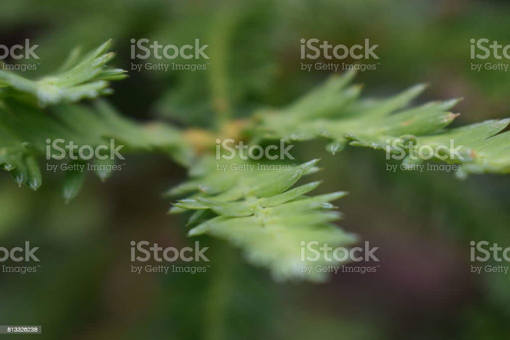 American Redwood Leaves stock photo