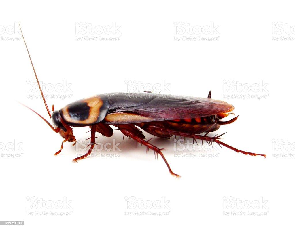 American Roach stock photo
