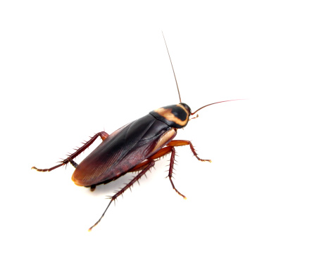 American cockroach shot on white