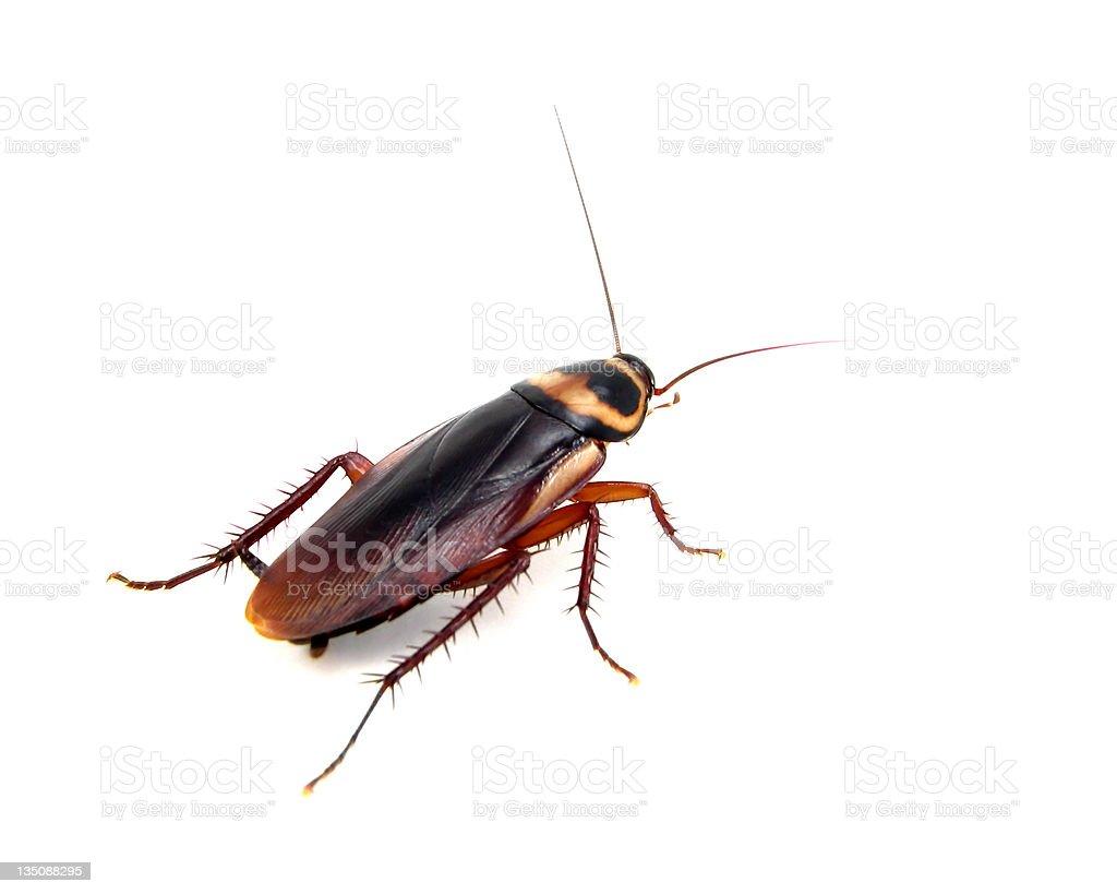 American Roach - foto stock