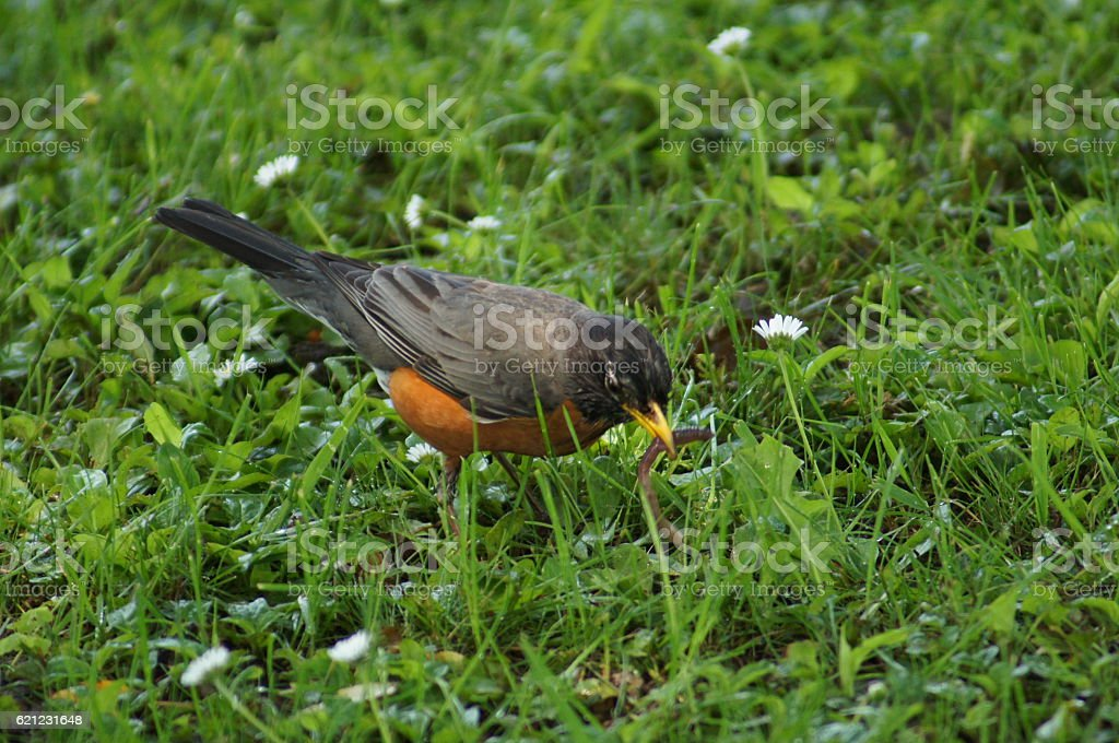 American Robin - Early Bird Catches the Worm stock photo
