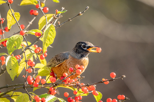 An American Robin eating red berries in a bush.