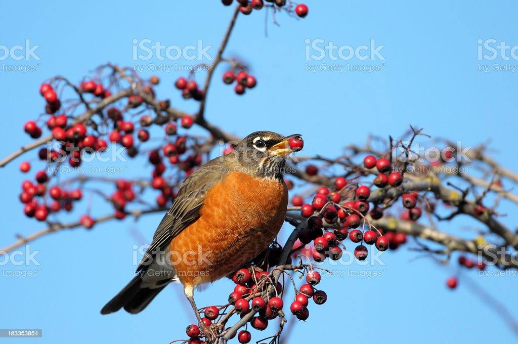 American Robin eating hawthorn berries stock photo