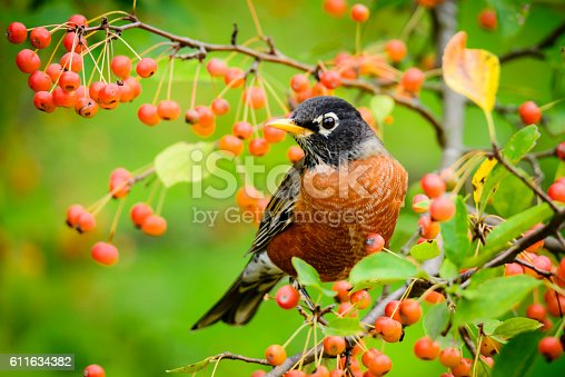 An American Robin  (Turdus migratorius) perched on a branch feeding on orange berries.