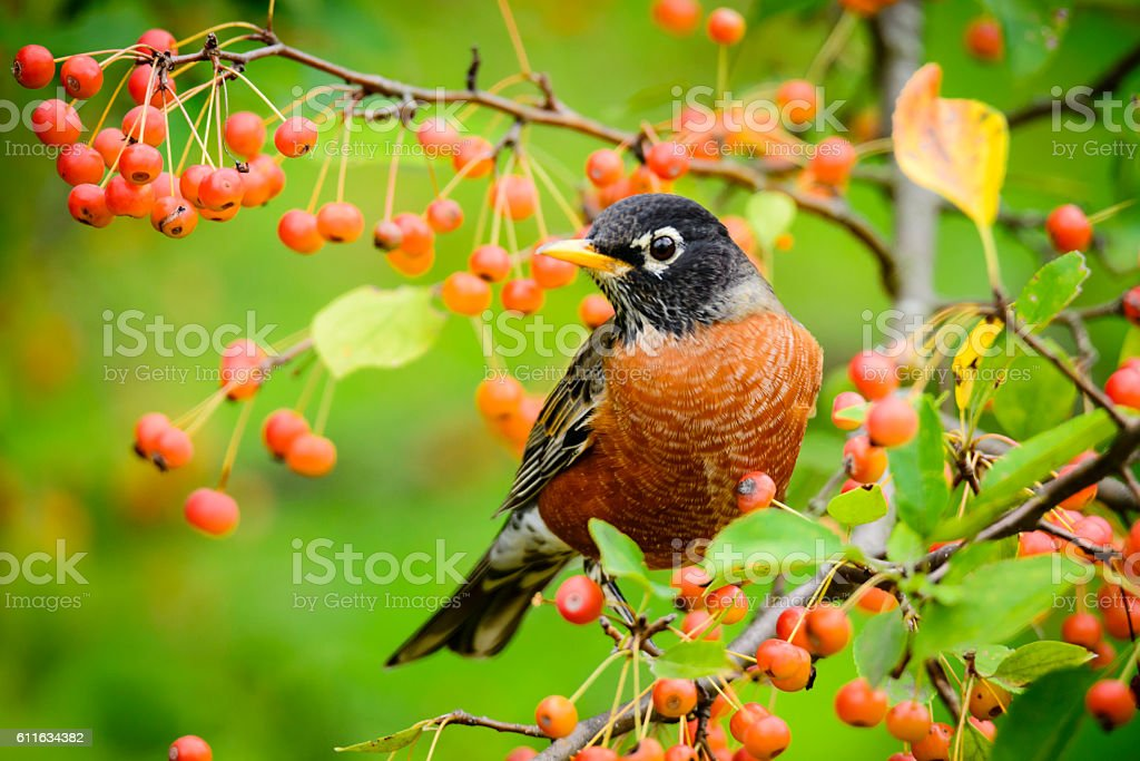 American Robin  (Turdus migratorius) feeding on orange berries stock photo