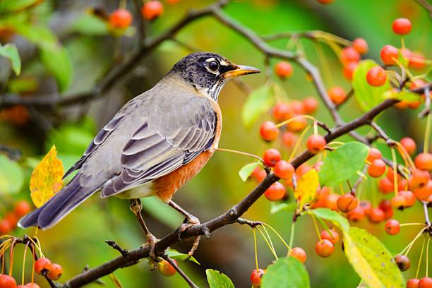 american robin  (turdus migratorius) feeding on orange berries - vogel herfst stockfoto's en -beelden