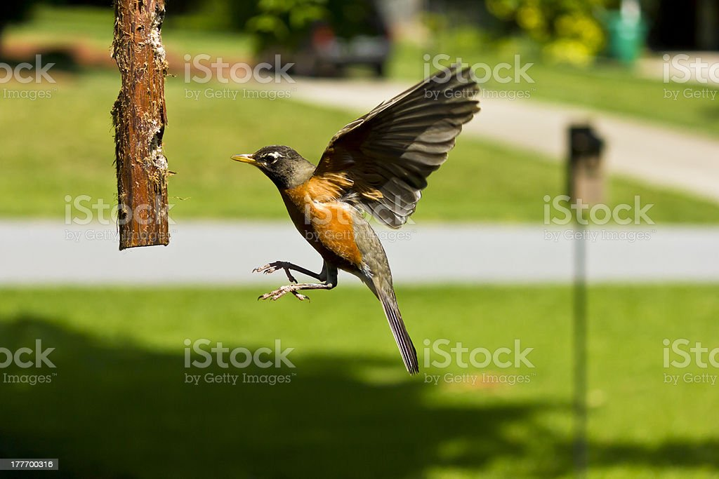 American Robin in Flight stock photo