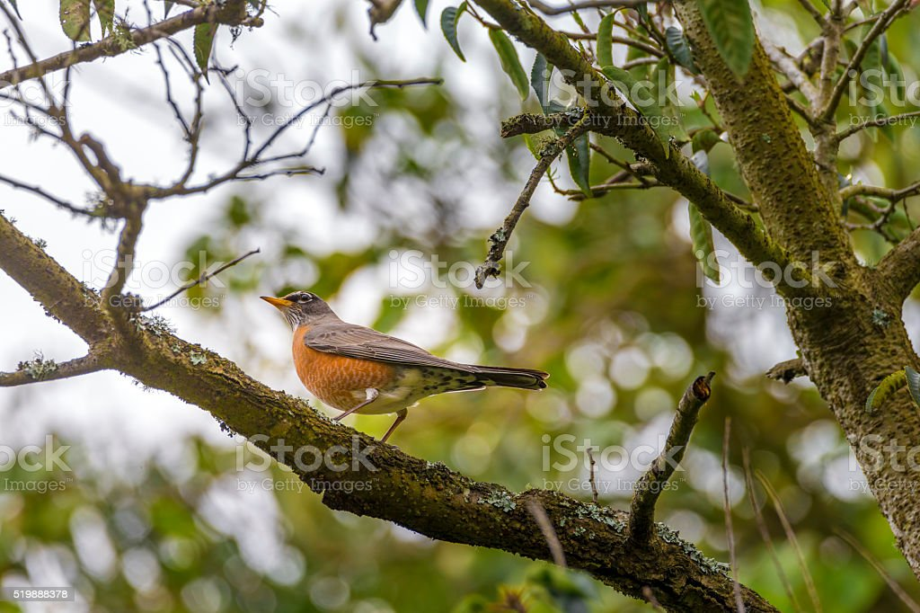 American Robin in Golden Gate Park, San Francisco stock photo