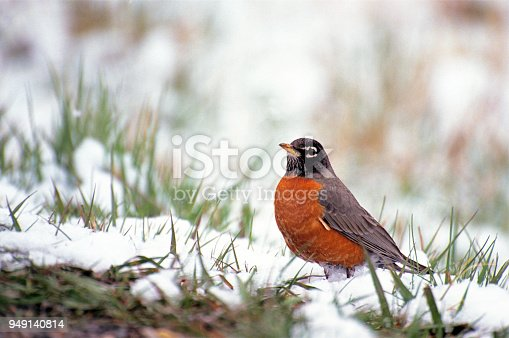 An American Robin pauses its foraging during a spring snow in Montana.