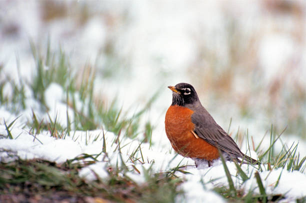 American Robin in Snow stock photo