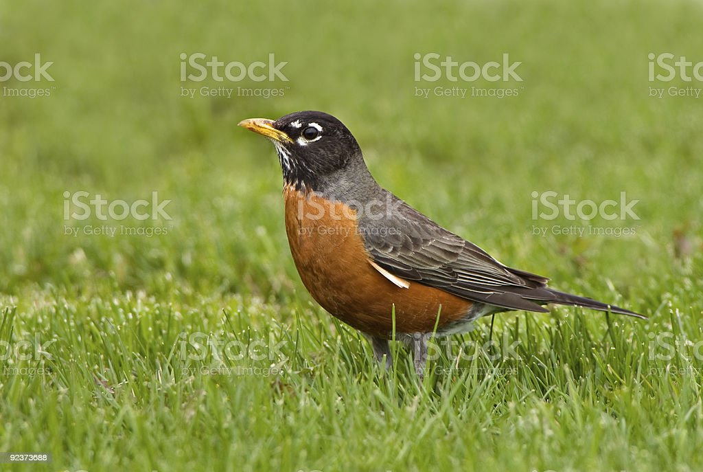 American Robin in Spring grass stock photo