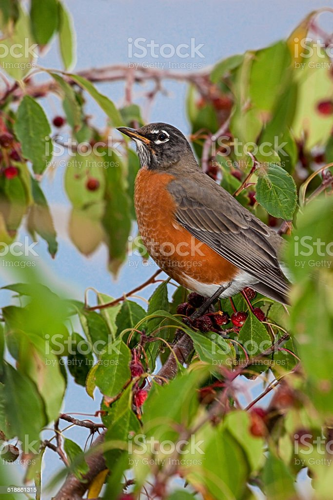 American Robin in Tree stock photo
