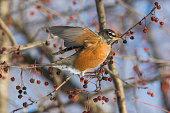 American robin (Turdus migratorius) feeding in winter