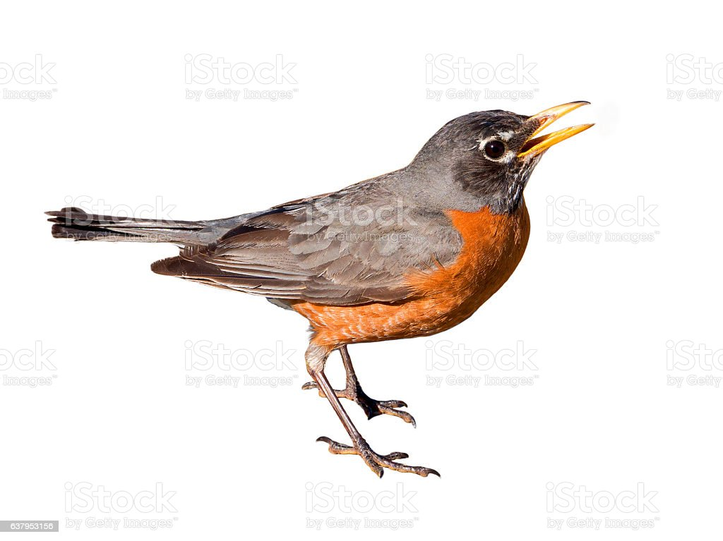 American Robin Isolated on White Background stock photo