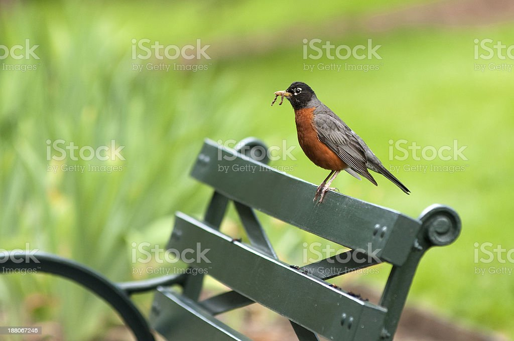 American Robin on a park bench stock photo