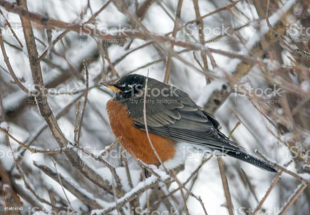 American Robin on a snow covered bare branch- copy space stock photo