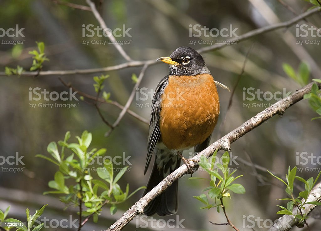 American robin on a tree branch stock photo