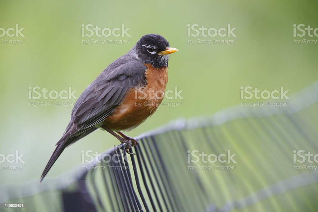 American Robin on fence stock photo