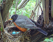 American Robin on her nest which holds four eggs... close - up and from above.