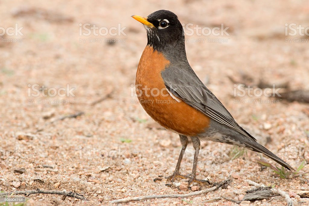 American robin on sandy beach Colorado Chatfield State Park stock photo