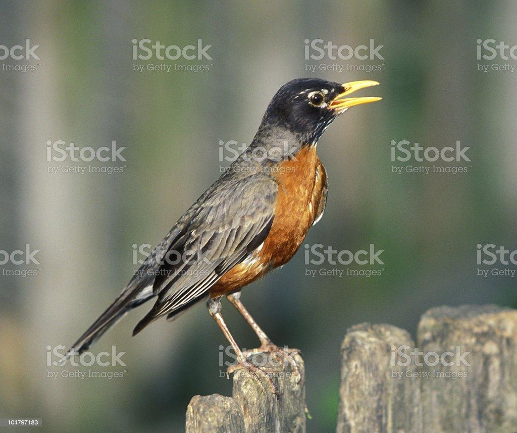 American Robin royalty-free stock photo