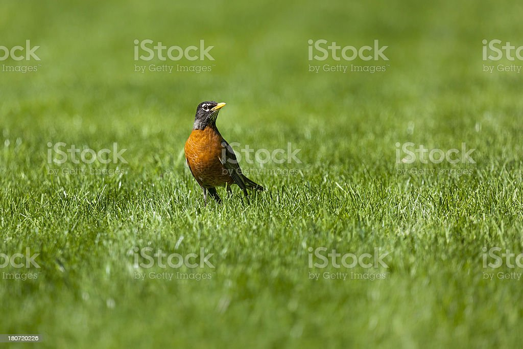 American Robin (Turdus migratorius) stock photo