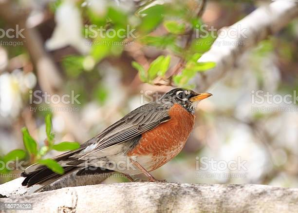 American robin picture id180724252?b=1&k=6&m=180724252&s=612x612&h=snt1jxyrjrun8jxcm gtne0oavis6dmn85jy7ayoety=