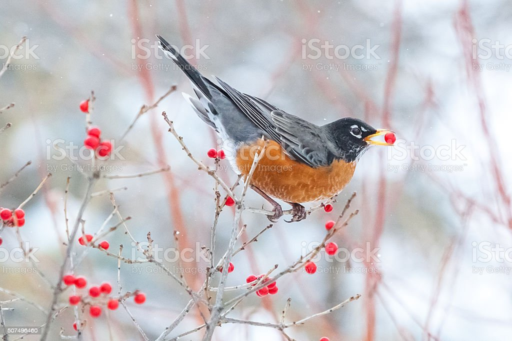 merle d'amérique,american robin stock photo