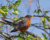 American Robin Perched on a Tree with worms on its beak