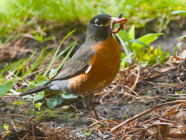 American Robin – Foto