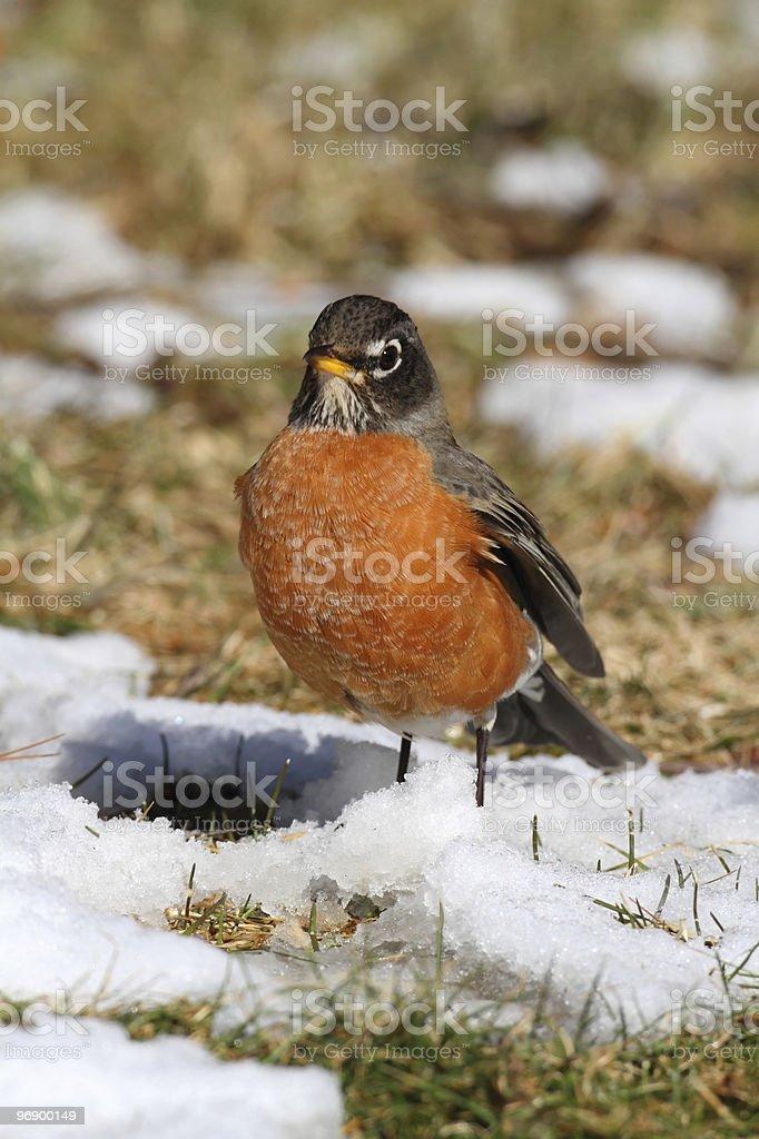 American Robin (Turdus migratorius) royalty-free stock photo