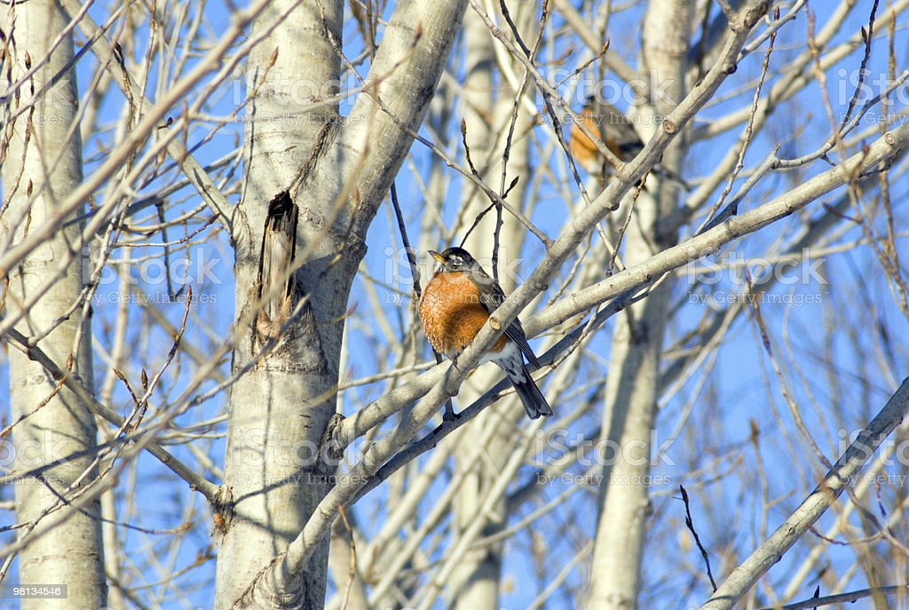 American robin royalty-free stock photo