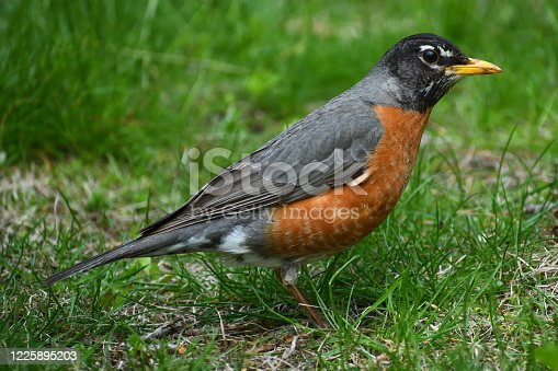 American robin scanning grass for worms, grubs and other food
