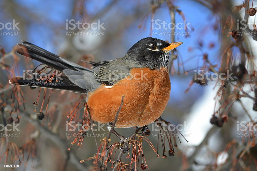 American robin sits in a berry tree stock photo