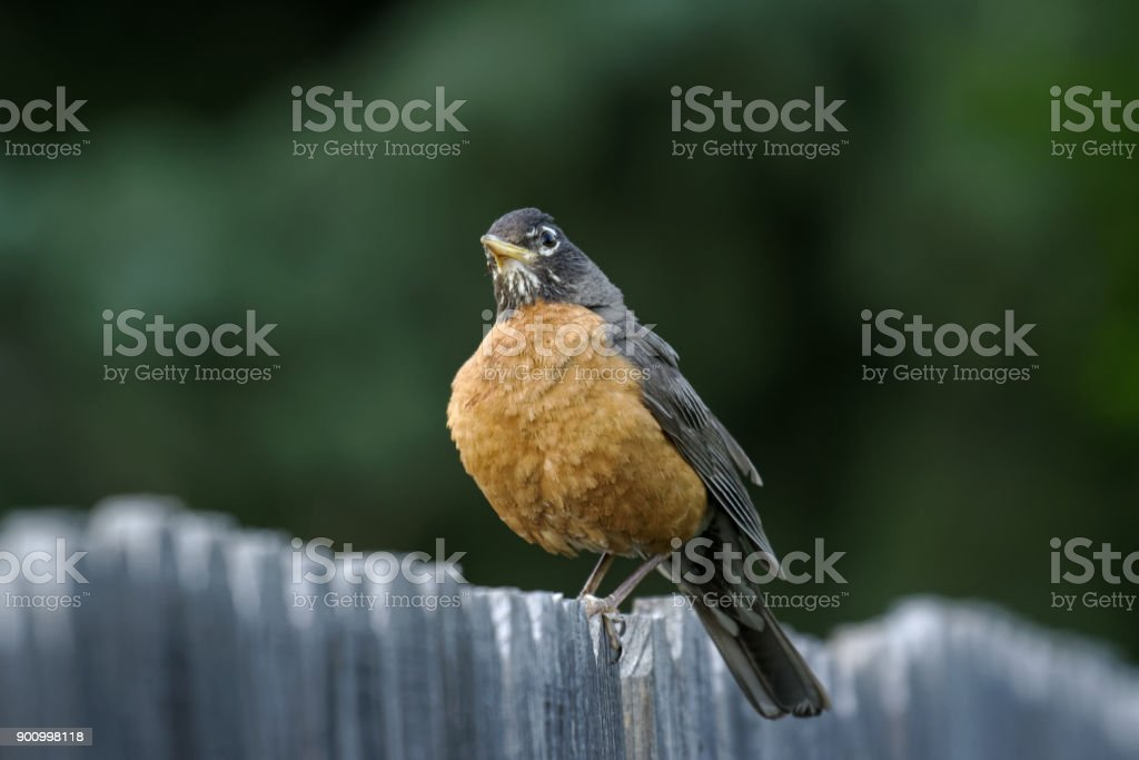 American Robin Sitting on a Wood Fence stock photo