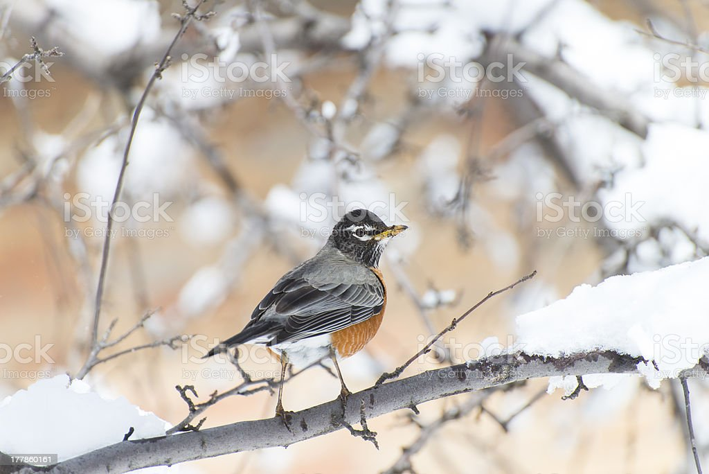 American robin stand on a branch stock photo