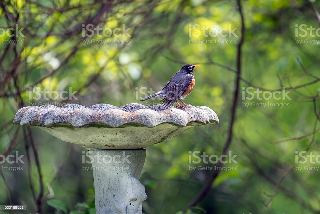 American Robin standing on an old rustic bird bath stock photo