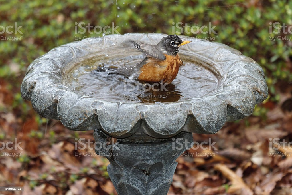 American Robin Taking a Bath stock photo