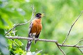 American robin, Turdus migratorius, singing on tree branch.